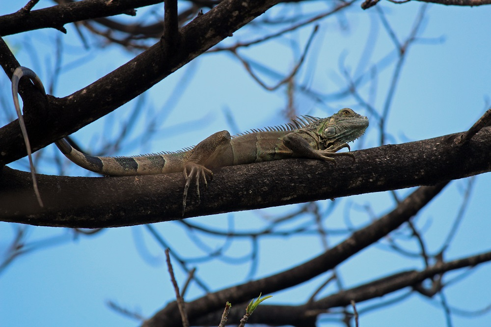 Determined iguana on tree branch